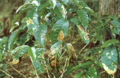 Daños del minador del café (Leucoptera coffeella)