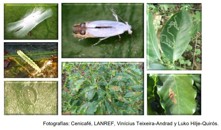 Minador del cafe (Leucoptera coffeella)