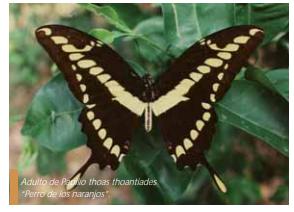 Gusano perro (Papilio cresphontes)