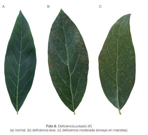 Funciones del potasio en las plantas (Deficiencia)