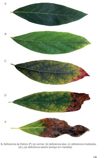 Funciones del fósforo en las plantas