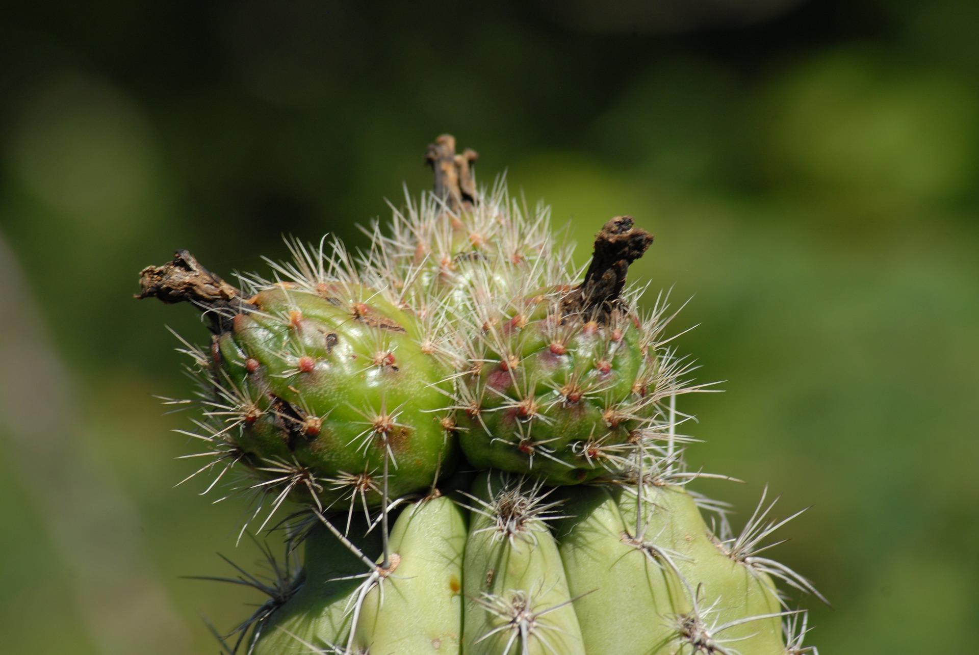 Pitaya y pitahaya
