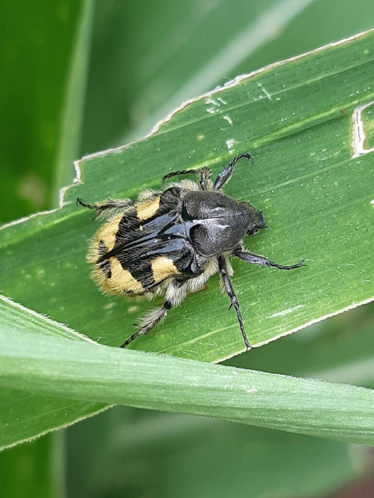 (Macrodactylus sp)