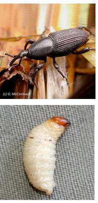 Barrenador de la base del tallo del plátano (Cosmopolites sordidus)
