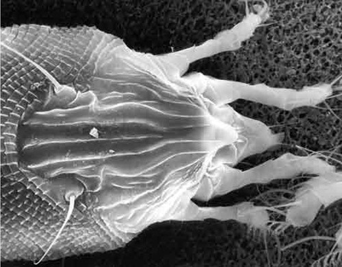 fuente: Howard et al., Insects on Palms,  University of Florida
