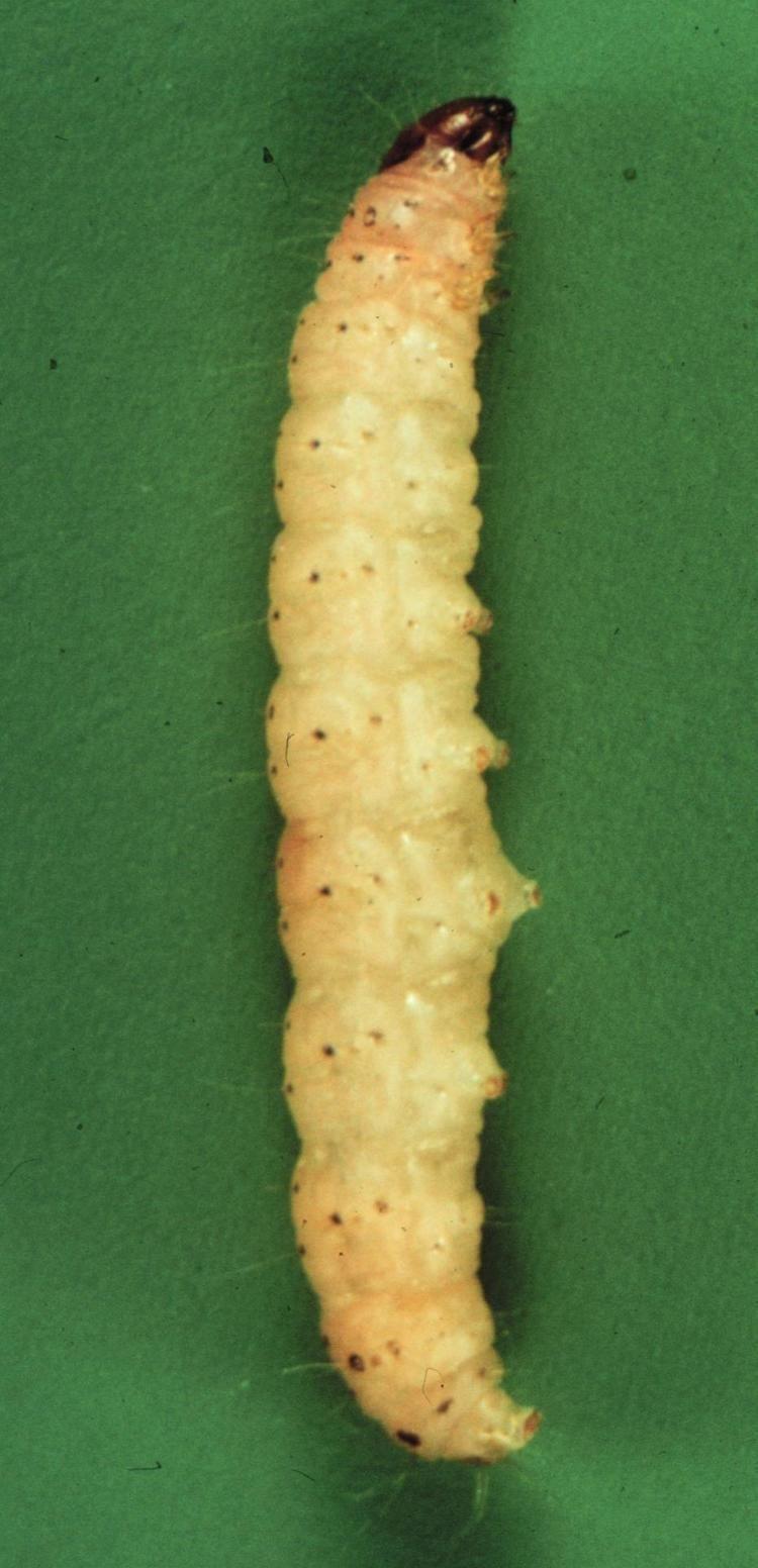 Gusano de la naranja navel (Amyelois transitella)