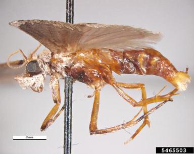 Polilla del gusano de la naranja navel (Amyelois transitella)