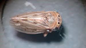 cochinilla de la remolacha Circulifer tenellus