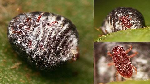 cochinilla grana (Dactylopius coccus Costa)