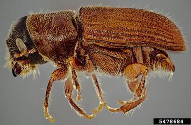 El descortezador mexicano (Dendroctonus mexicanus Hopkins)