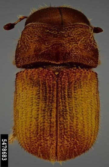 Descortezador mexicano Dendroctonus mexicanus Hopkins