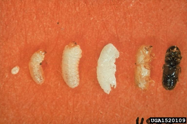 descortezador suriano de los pinos Dendroctonus frontalis Zimmermann
