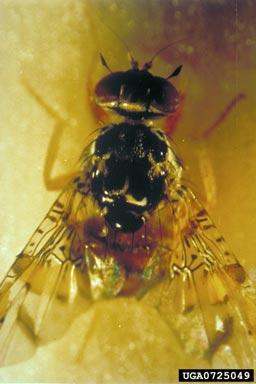 mosca de la fruta (Ceratitis capitata Wiedemann)