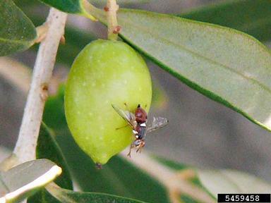 mosca del olivo (Bactrocera oleae Gmelin)