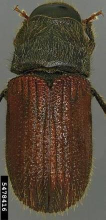 Escarabajo de la corteza Dendroctonus pseudotsugae Hopkins