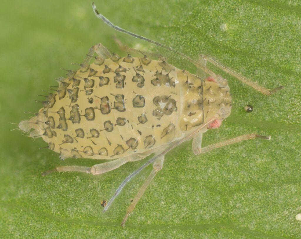 Pulgón manchado de la alfalfa Therioaphis maculata Buckton
