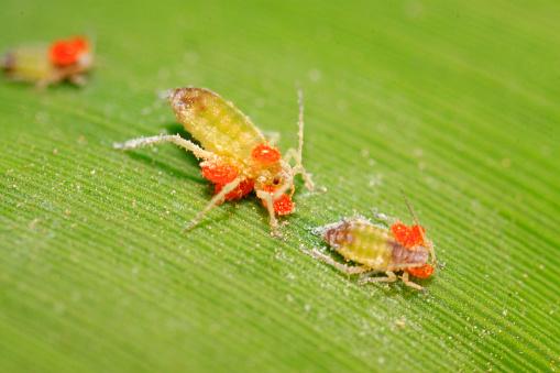 Araña roja  Tetranychus cinnabarinus Boisduval