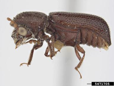 Barrenador del maíz  Prostephanus truncatus Horn