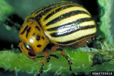 catarinita de la papa (Leptinotarsa decemlineata Say)