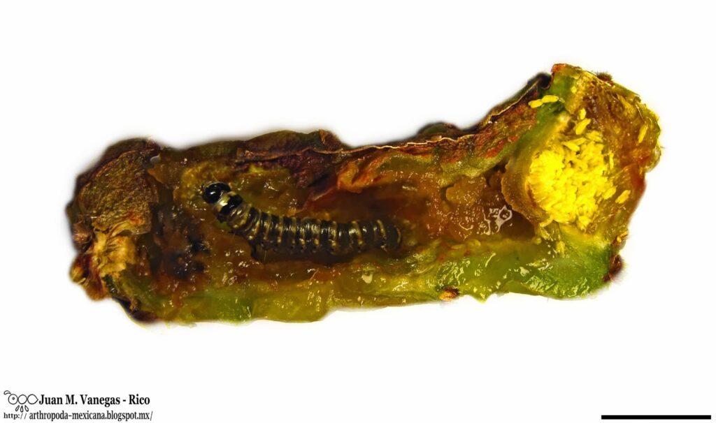 Gusano cebra  Olycella nephelepasa Dyar