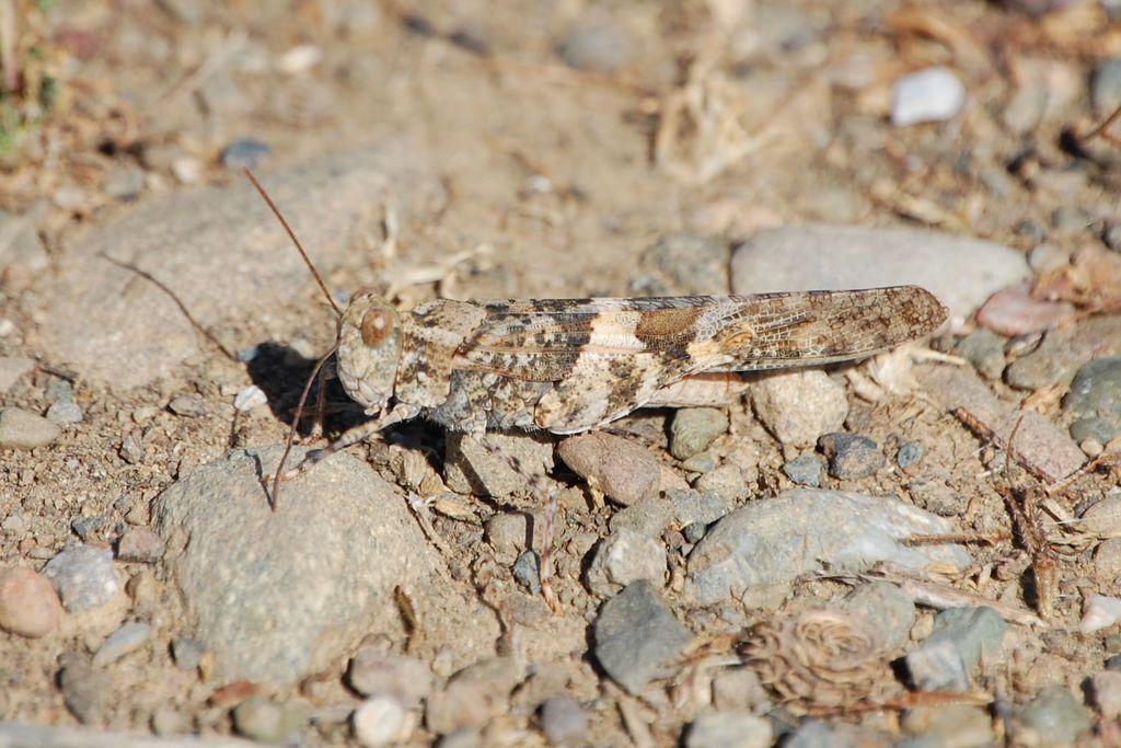 chapulín de alas pálidas Trimerotropis pallidipennis Burmeister