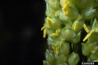 Mosca del sorgo  Stenodiplosis sorghicola Coquillett