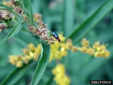 Escarabajo de la hoja del cereal Oulema melanopus L.