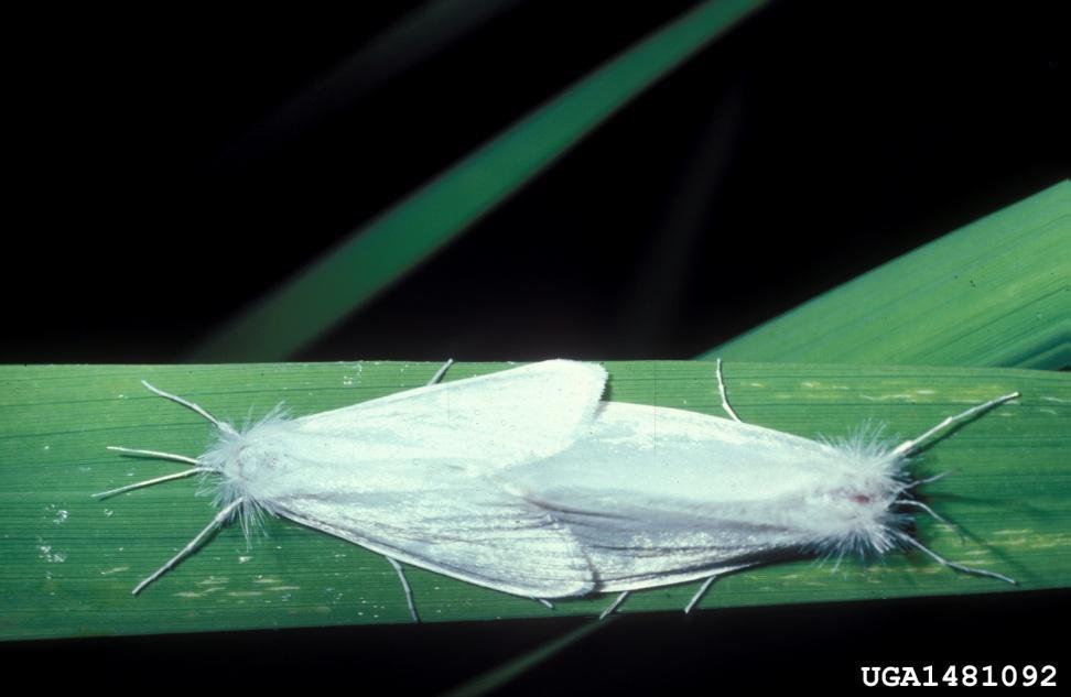 Palomilla blanca del arroz  Rupela albinella Cramer