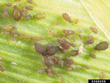 Pulgon negro  Rhopalosiphum maidis Fitch