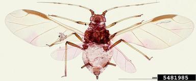 Pulgón negro de los cítricos Toxoptera aurantii Boyer de Fonscolombe