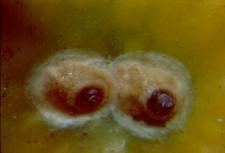 Escama del olivo  Hemiberlesia rapax Comstock