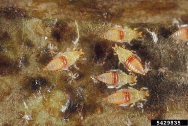 Trips (Selenothrips rubrocinctus Giard)