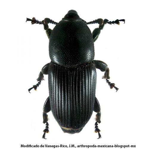picudo del agave (Scyphophorus acupunctatus Gyllenhal)
