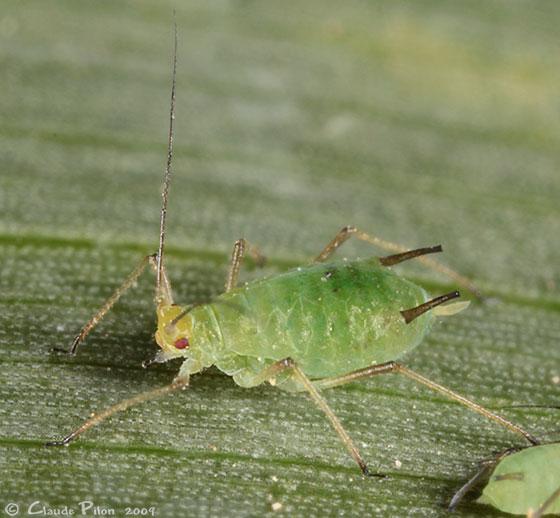 pulgón de la espiga  Sitobion avenae Fabricius