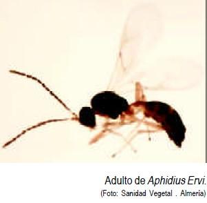 Aphidius ervi
