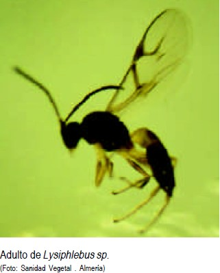 Lysiphlebus testaceipes