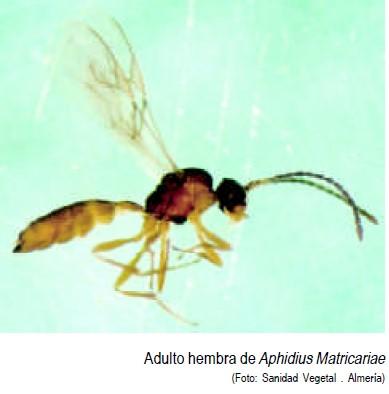 Aphidius matricariae