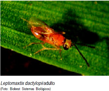 Leptomaxtix dactylopii