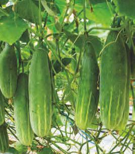 Pepino en México