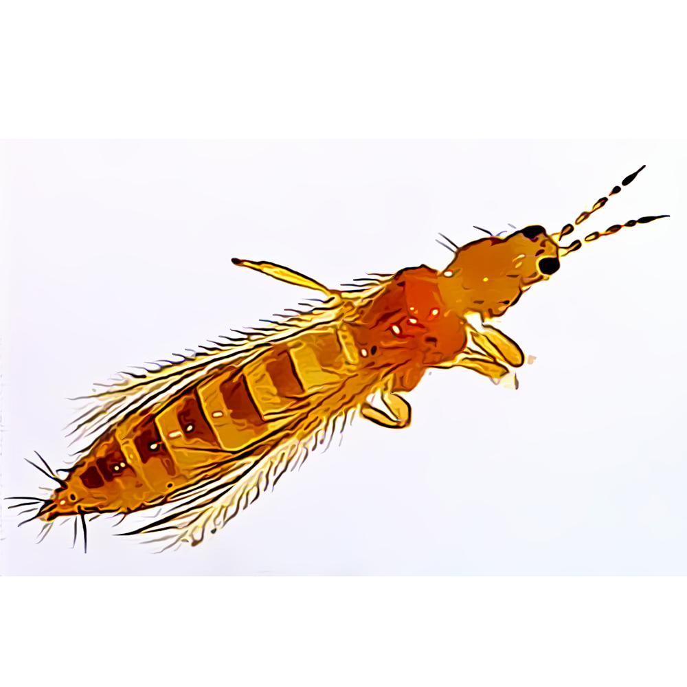 Tisanópteros